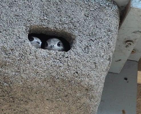 pisklęta znajdujące się w gnieździe