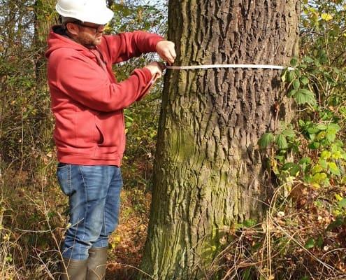 zdjęcie dendrolog mierzy pień drzewa