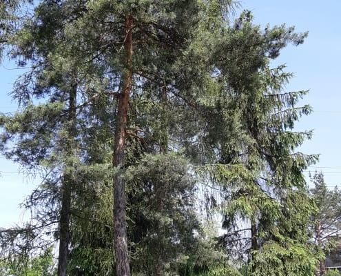 zdjęcie drzew do wycinki ekspertyza ornitologiczna