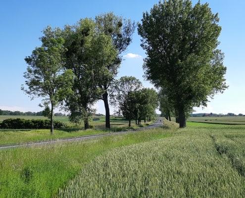 zdjęcie alei drzew wzdłuż drogi inwentaryzacja przyrodnicza