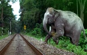 słoń wbiegający na tory kolejowe