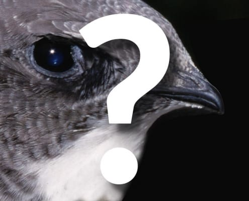 ptak jerzyk z bliska
