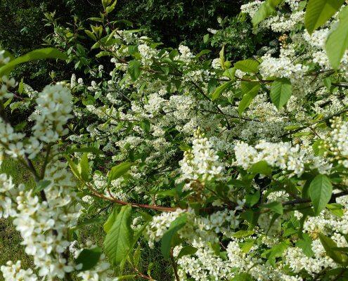 kwiaty czeremchy zwyczajnej inwentaryzacja przyrodnicza
