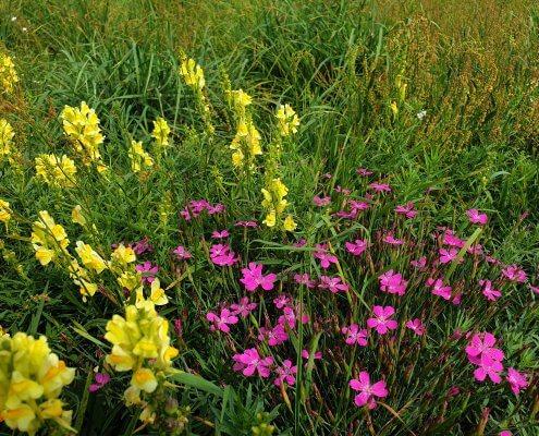 zdjęcie kwiatów na łące waloryzacja przyrodnicza