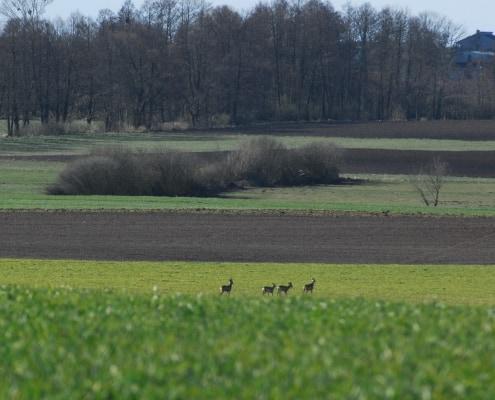 po zielonym polu chodzą sarny inwentaryzacja przyrodnicza