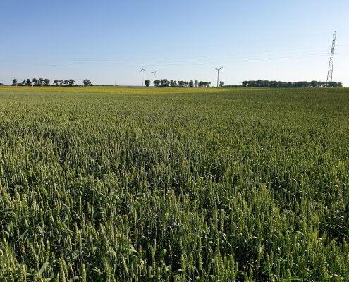 zdjęcie pola z turbinami wiatrowymi w tle ekspertyza ornitologiczna