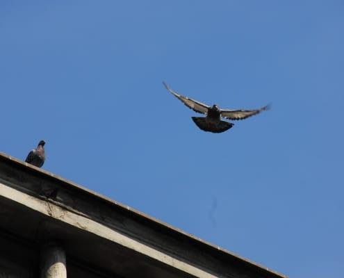 zdjęcie gołębi na dachu jeden gołąb w locie