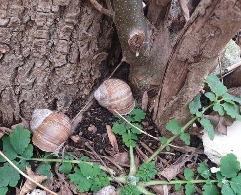 dwa ślimaki winniczki u podstawy pnia drzewa