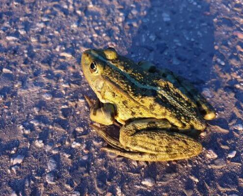zdjęcie żaby na drodze nadzór przyrodniczy